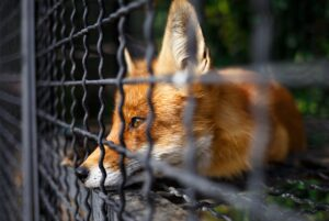 Fur farming is rampant and contributes to the death of millions of animals each year.