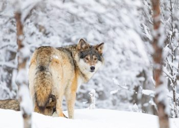 GREY WOLF  Left in the wild: X,000