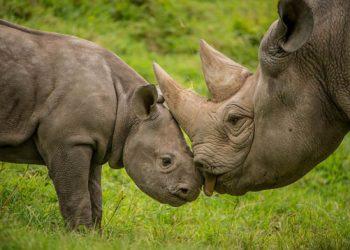 rhino-baby-chester-zoo-1073475
