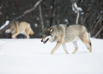 Wolf in a Norwegian winter forest.